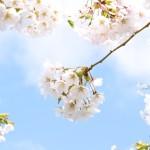 [函館][桜の名所][五稜郭][さくら通り][石崎地主海神社][松前城]の写真を一挙掲載しますNo.1