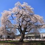 [桜名所]法亀寺の一本しだれ桜と松前藩戸切地陣屋の桜の写真を一挙掲載No.2